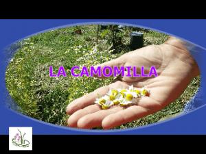 CAMOMILLA MATRICARIA
