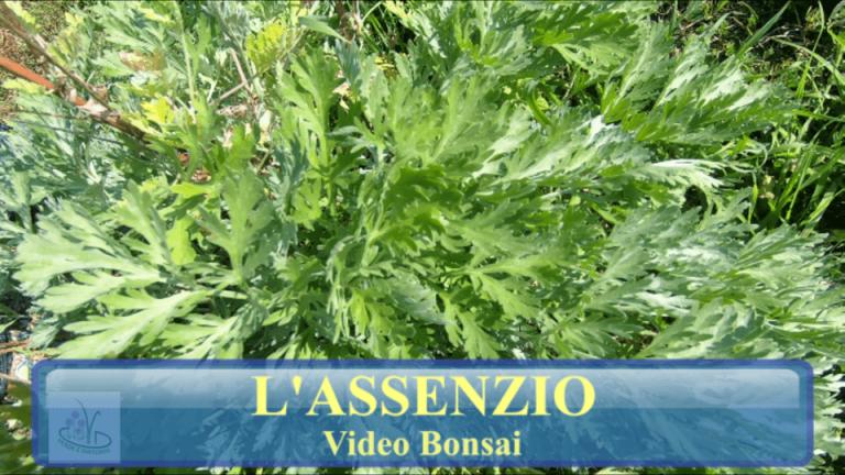 Read more about the article ASSENZIO (Artemisia Absinthium)