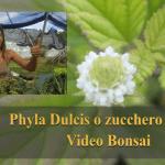 LIPPIA DULCIS (ZUCCHERO AZTECO)