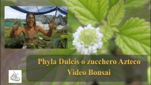 Read more about the article LIPPIA DULCIS (ZUCCHERO AZTECO)